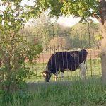 「牛さん」を見ながら通勤してます。